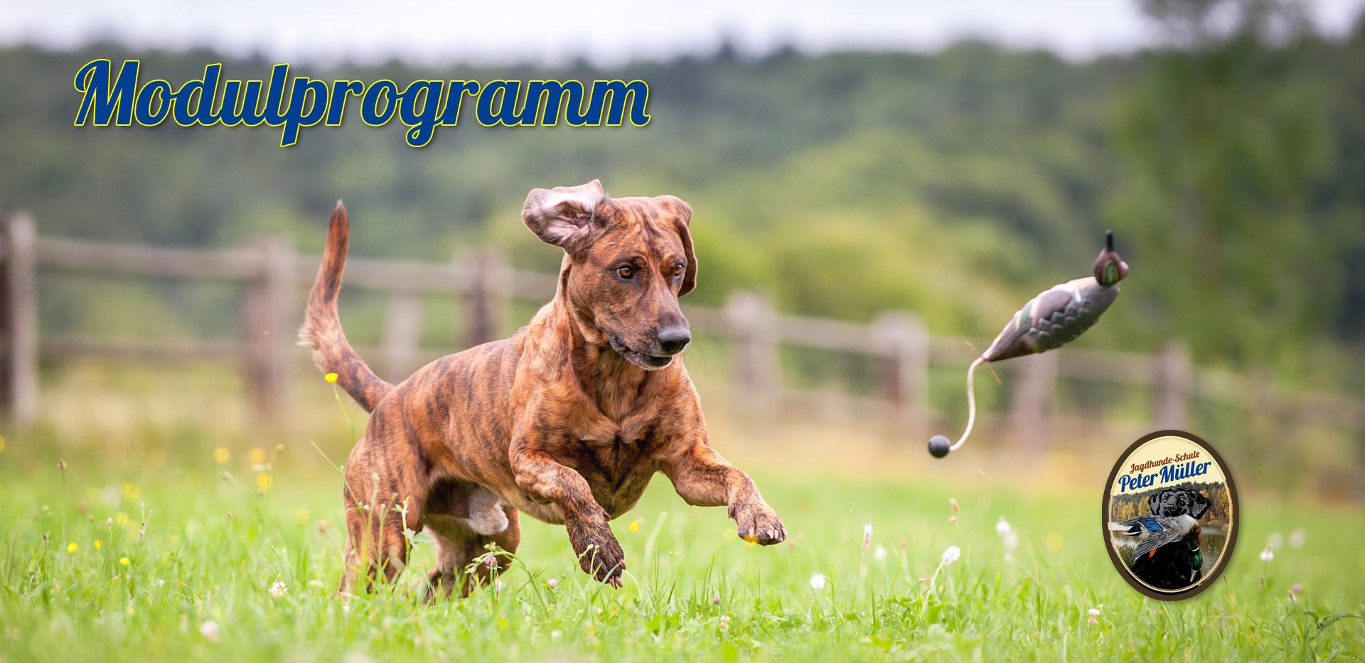 junger hund bei der jagdausbildung