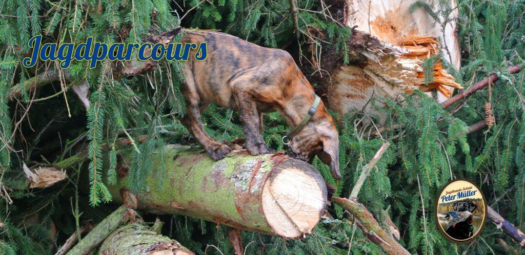 ausbildung eines jungen hundes auf dem jagdparcour